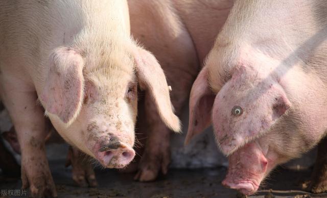 生猪存栏恢复得怎样了,年底能吃上便宜猪肉吗?
