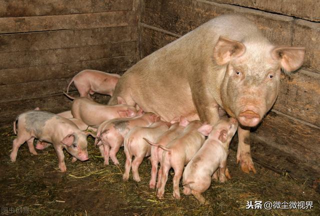 今年养猪净赚2000元/头,养猪场越来越多,养殖户如何适应新形势-今日股票_股票分析_股票吧