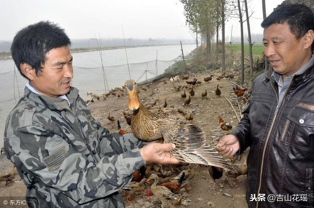 生态养鸭的五种模式
