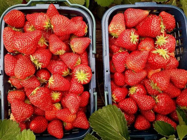 平顶山周边这座山太率性,假期还能摘草莓,前100名免费送!插图18