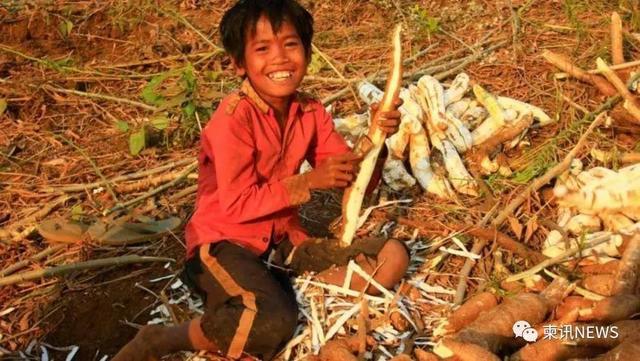 柬埔寨2020年前9个月木薯出口增长49%
