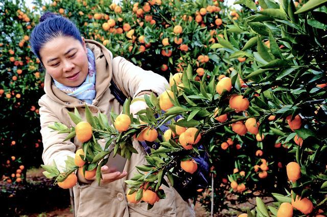9月9日全国直播:柑橘绿色防控关键管理技术,实用简便