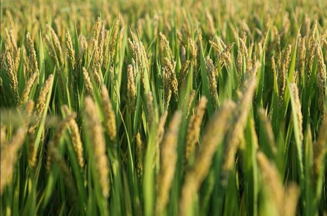 北斗、5G加持,水稻种植将实现机械化!【www.smxdc.net】 全球新闻风头榜 第3张