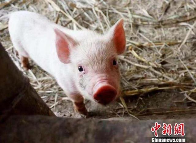 """猪肉不香了?""""猪中茅台""""净赚100亿,市值却缩水772亿"""