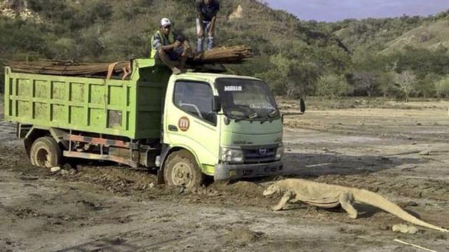 科莫多巨蜥拦卡车照引热议 印尼暂停度假村建设