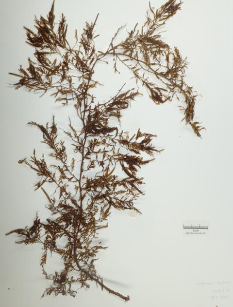 韩国从中国流入铜藻发现抗衰老成分 将申请专利