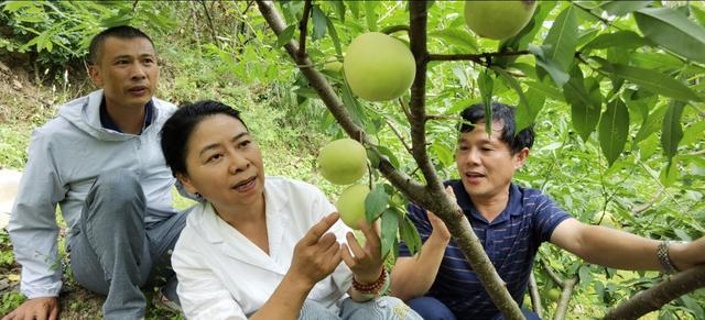 湖北长阳:一农民培育出甘蔗味桃子,枝条百元不卖,采摘期55天