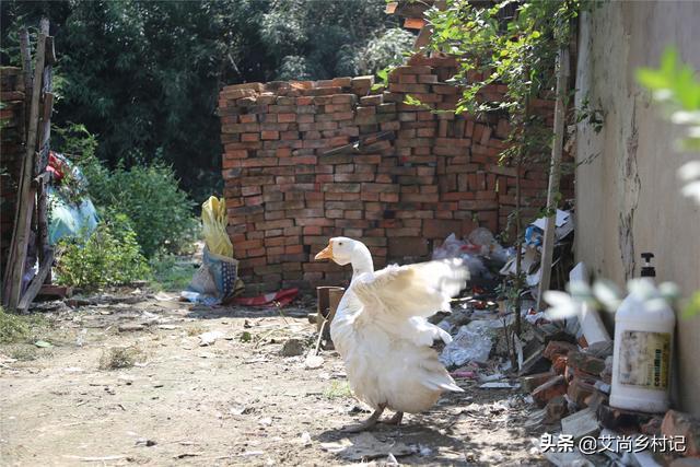 7旬单身老汉把大白鹅当宠物养了16年,背后的原因让人感动【www.smxdc.net】 全球新闻风头榜 第2张