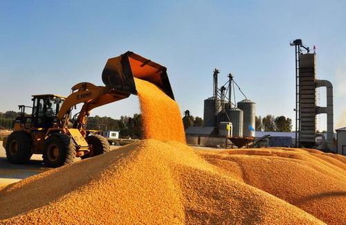 全国玉米价格持续上涨 东北产玉米开始正式上量了